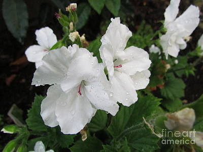 Photograph -  Regal Pelargoniums by Joyce Woodhouse