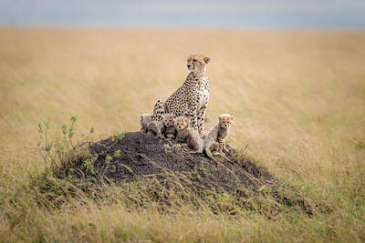 Cheetah Photograph - Regal Protector by Ted Taylor