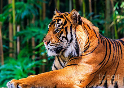 Photograph - Regal Tiger by Ray Shiu
