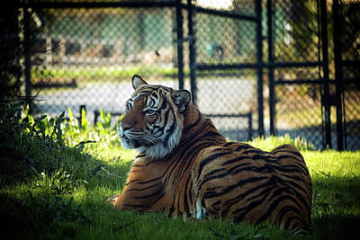 Photograph - Regal Tiger by Travis Rogers