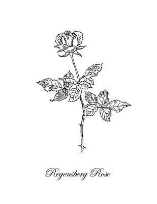Roses Drawings - Regensberg Rose. Botanical by Masha Batkova