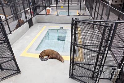 Rehabilitated Sea Lion Art Print by Inga Spence