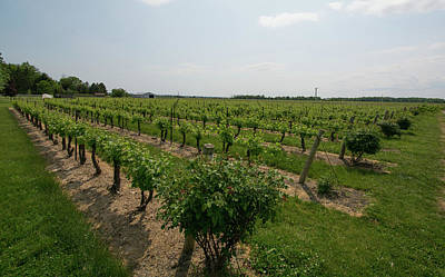 Photograph - Reif Estate Vineyard by John Black