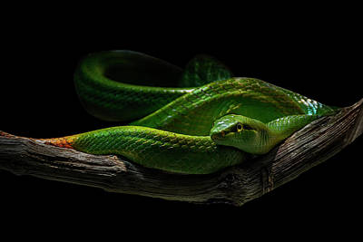 Reptiles Royalty-Free and Rights-Managed Images - Rein Snake by Joachim G Pinkawa