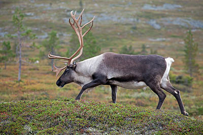 Photograph - Reindeer by Aivar Mikko
