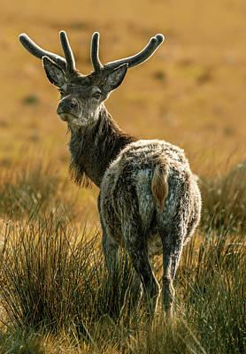 Photograph - Reindeer Of Scotland by Jaroslaw Blaminsky