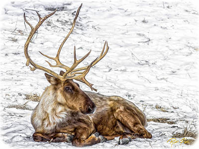 Photograph - Reindeer Repose by Rikk Flohr