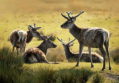 Photograph - Reindeers  by Jaroslaw Blaminsky