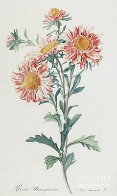 Reine Marguerite, Aster De Chine Art Print