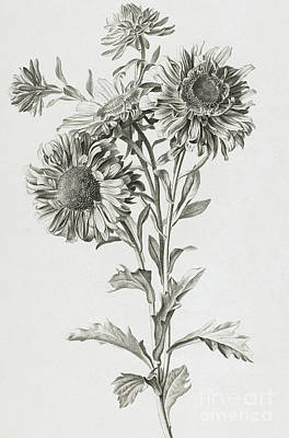 Aster Drawing - Reine-marguerite by Gerard van Spaendonck