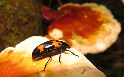 Photograph - Reishi Beetle by Joshua Bales