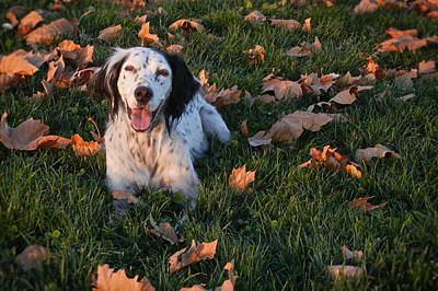 Relaxed And Happy, English Setter Art Print