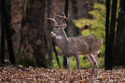 Missouri Whitetail Photograph - Relaxed by Andrea Silies