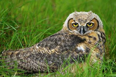 Owl Photograph - Relaxed Eyes Of A Sleepy Great Horned Owl Lying In The Grass In  by Reimar Gaertner