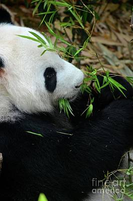 Photograph - Relaxed Panda Bear Eats With Green Leaves In Mouth by Imran Ahmed