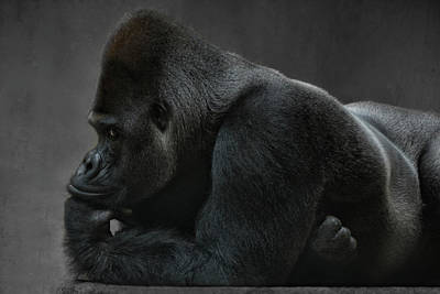 Portraits Royalty-Free and Rights-Managed Images - Relaxed Silverback by Joachim G Pinkawa