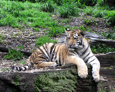 Photograph - Relaxed Tiger Cub by George Jones