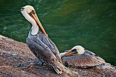 Photograph - Relaxing After A Day At Sea, California Brown Pelicans by Flying Z Photography by Zayne Diamond