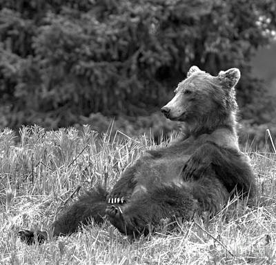Photograph - Relaxing Banff Grizzly Black And White by Adam Jewell