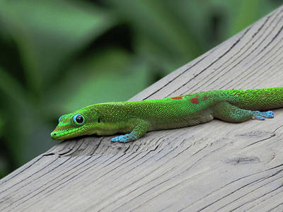 Photograph - Relaxing Gecko by Pamela Walton