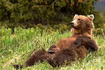 Photograph - Relaxing Grizzly Bear By Bow Lake by Adam Jewell