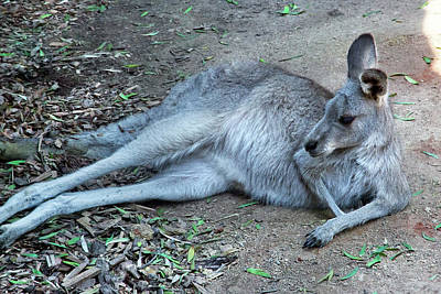 Photograph - Relaxing Kangaroo by Miroslava Jurcik