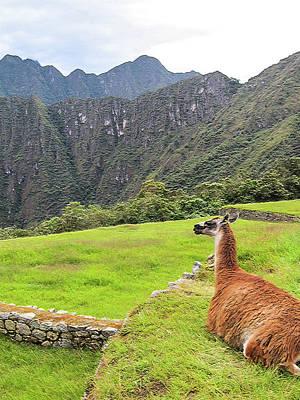 Relaxing Llama In Machu Picchu Art Print