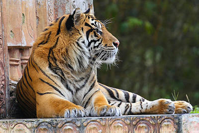 Photograph - Relaxing Tiger by Dart and Suze Humeston