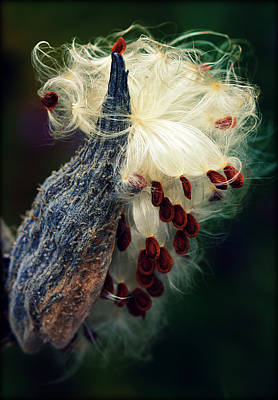 Photograph - Release The Seed Milkweed by Susie Weaver
