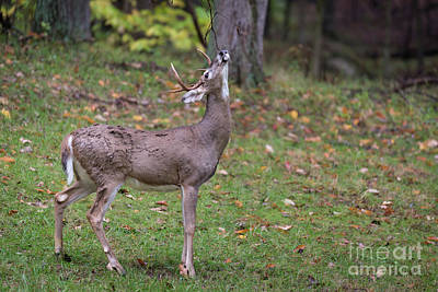 Missouri Whitetail Photograph - Relief by Andrea Silies