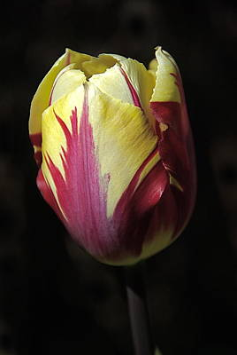 Photograph - Rembrandt Tulip Close Up by Byron Varvarigos