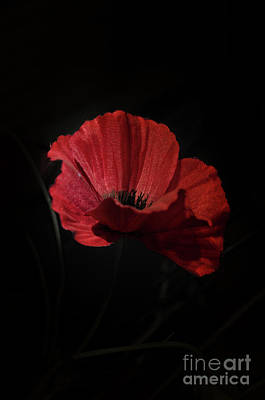 Photograph - Remembrance Poppy 1 by Steev Stamford