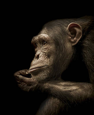 Chimpanzee Photograph - Reminisce by Paul Neville