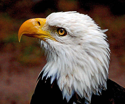 Reminiscent Bald Eagle Art Print by Donna Proctor