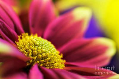 Chrysanthemums Photograph - Remix-yellow by John Edwards