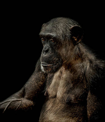 Chimpanzee Photograph - Remorse by Paul Neville