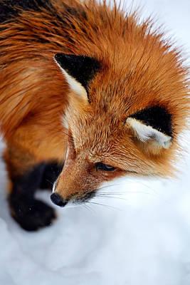 Photograph - Renard Fox by Stephen Gupta