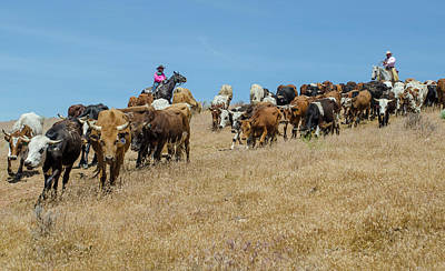 Photograph - Reno Cattle Drive 12 by Rick Mosher