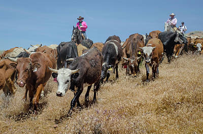 Photograph - Reno Cattle Drive 15 by Rick Mosher