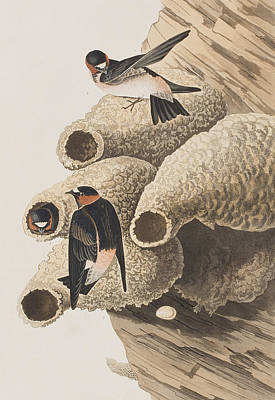 Swallow Painting - Republican Or Cliff Swallow by John James Audubon