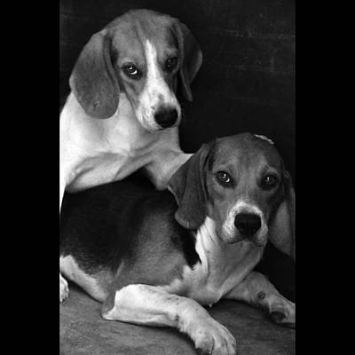 Beagle Dog Photograph - Rescued 1 by Laura Melis