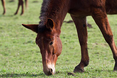 Photograph - Rescued Mule Grazes by Marie Jamieson