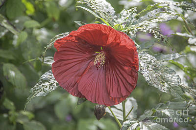 Photograph - Resilient Hibiscus by Allen Nice-Webb