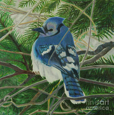 Bluejay Drawing - Respite by Pamella Bernard