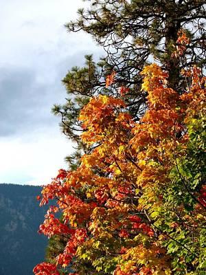 Photograph - Resplendent Maple Leaves by Will Borden