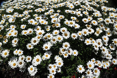 Photograph - Rest Stop Daisies 1 by Mary Bedy