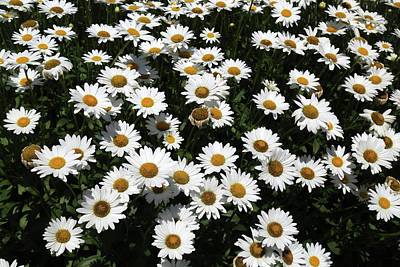 Photograph - Rest Stop Daisies 2 by Mary Bedy