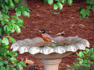 Photograph - Restful Robin by Sue Melvin