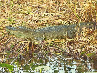 Photograph - Resting Alligator In The Florida Everglades by Merton Allen