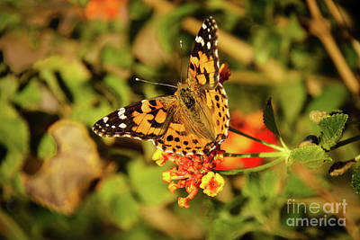 Photograph - Resting American Painted Lady by Robert Bales